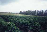 Pumehana' Coffee Farm